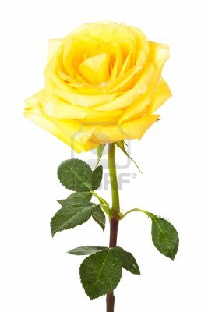 Yellow Rose Zonta Club Of Port Lincoln