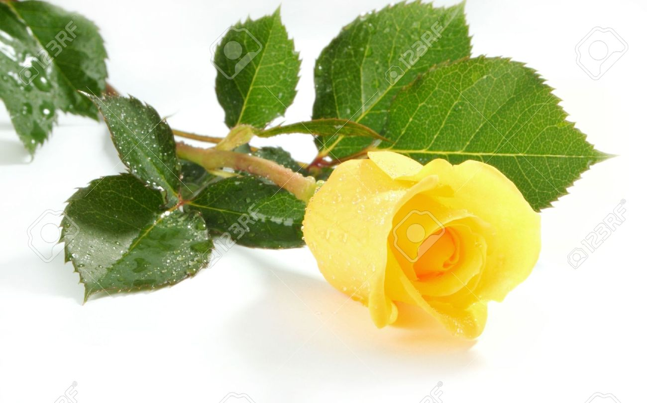 3111685 yellow rose on a white sheet of a paper stock - Yellow rose images hd ...
